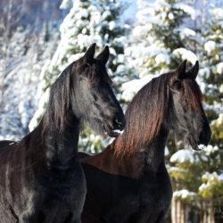Portret koni fryzyjskich zimą na tle drzew