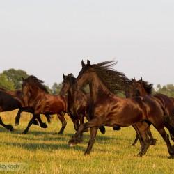 Stado fryzów galopujące jesienią po łące zdjęcia koni