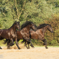 Friesians galloping on the sand