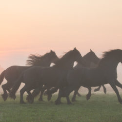 Friesian's herd galloping at sunrise in the mist