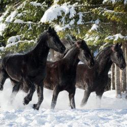 Kare konie fryzyjskie galopujące zimą po śniegu na tle lasu