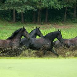 Stado koni fryzyjskich przebiegających przez staw pokryty rzęsą