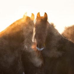 Stado koni fryzyjskich zimą w zachodzącym słońcu