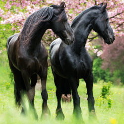 Friesian mares standing in orchad in spring