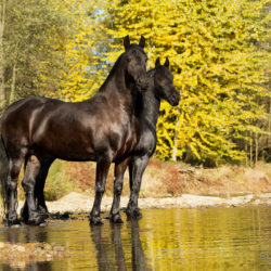 Friesian mares standing in the mountain stream