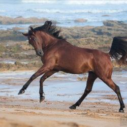 Arabian galloping on the beach