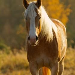 Portret haflingera jesienią o zachodzie słońca equine photography zdjęcia koni