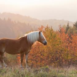 Haflinger stojący w górach o zachodzie słońca