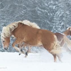 Klacz haflinger wierzgająca zimą na śniegu