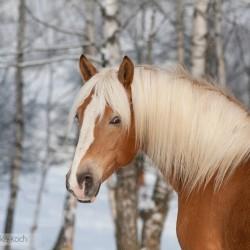 Portret klaczy haflinger zimą na tle brzóz equine photography zdjęcia koni