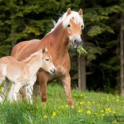 Klacz haflinger ze źrebakiem na wiosennej łące na tle lasu equine photography zdjęcia koni