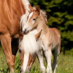 Źrebak haflinger przytulający się do klaczy equine photography zdjęcia koni