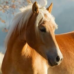 Portret klaczki haflingera jesienią equine photography zdjęcia koni