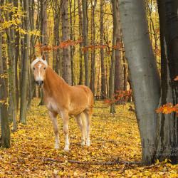 Haflinger stojący jesienią w żółtym lesie