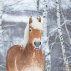 Portret klaczy haflinger zimą wśród brzóz