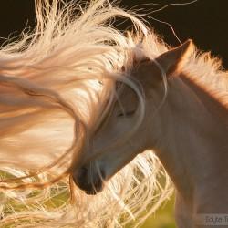 Portret żrebaka haflingera zaplątanego w ogon klaczy equine photography zdjęcia koni