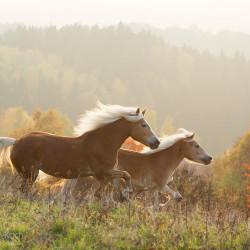 Haflingery galopujące jesienią w górach o zachodzie słońca