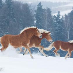 Stado haflingerów galopujące zimą po śniegu