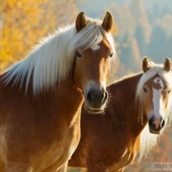Portret dwóch klaczy haflinger na tle złotych jesiennych drzew equine photography zdjęcia koni