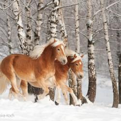 Klacze haflinger galopujące zimą w śniegu na tle brzóz equine photography zdjęcia koni