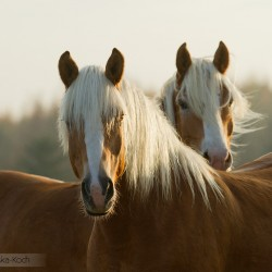 Portret haflingerów jesienią o zachodzie słońca equine photography zdjęcia koni