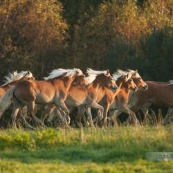 Stado haflingerów galopujące w jesiennym pejzażu equine photography zdjęcia koni