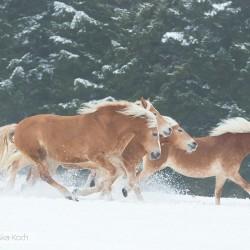 Stado haflingerów galopujące zimą po śniegu na tle lasu