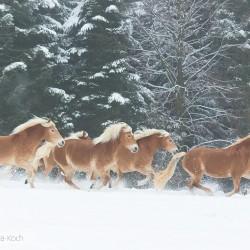 Stado haflingerów galopujące zimą na tle ośnieżonych drzew
