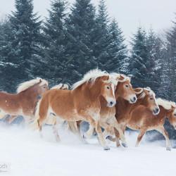 Stado haflingerów galopujące zimą na tle lasu