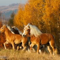 Stado haflingerów kłusujące w jesiennym pejażu equine photography zdjęcia koni