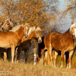Stado haflingerów stojące jesienią pod złotymi brzozami equine photography zdjęcia koni