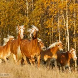 Stado haflingerów kłusujące jesienią na tle żółtych brzóz equine photography zdjęcia koni