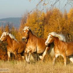 Stado haflingerów galopujące jesienią na tle żółtych drzew equine photography zdjęcia koni