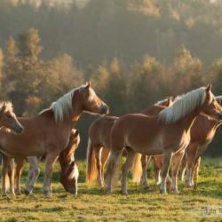 Stado haflingerów stojące w blasku wschodzącego jesiennego słońca equine photography zdjęcia koni
