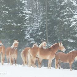 Stado haflingerów stojące zimą we mgle na tle lasu
