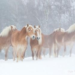 Stado haflingerów stojące zimą we mgle na tle drzew