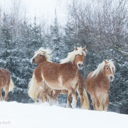 Stado haflingerów zimą w sypiącym śniegu