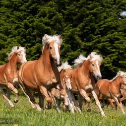Stado haflingerów galopujące wiosną po łące equine photography zdjęcia koni