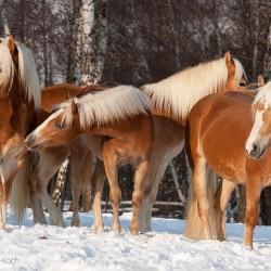Stado haflingerów stojące zimą pod drzewami equine photography zdjęcia koni