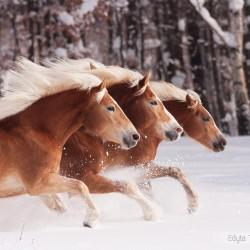 Stado haflingerów galopujące zimą po śniegu na tle ściany lasu equine photography zdjęcia koni