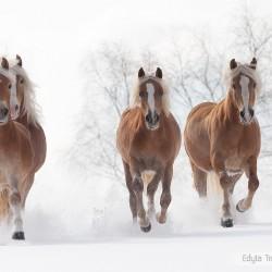 Haflingery galopujące ławą zimą po śniegu equine photography zdjęcia koni