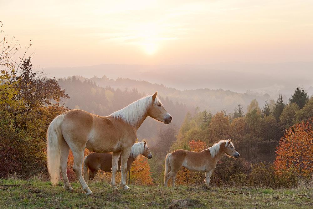 Haflingery stojące jesienią w górach o zachodzie słońca