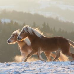 Haflingery kłusujące zimą po śniegu o zachodzie słońca