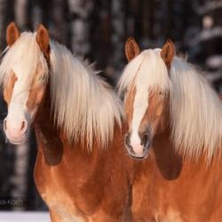 Zimowy portret dwóch haflingerów na tle lasu equine photography zdjęcia koni