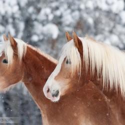 Zimowy portret haflingerów na tle ośnieżonych drzew equine photography zdjęcia koni