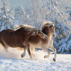Haflingers playing in winter