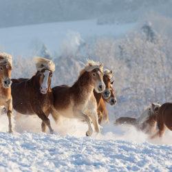 Stado haflingerów galopujące zimą w górach
