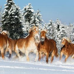 Stado haflingerów kłusujące na wprost zimą po śniegu
