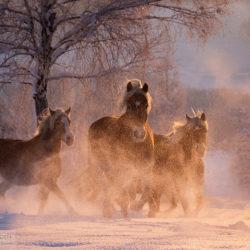 Stado haflingerów kłusujące zimą o wschodzie słońca w tumanach śniegu