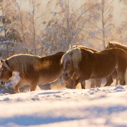 Stado haflingerów idące zimą o wschodzie słońca na tle lasu